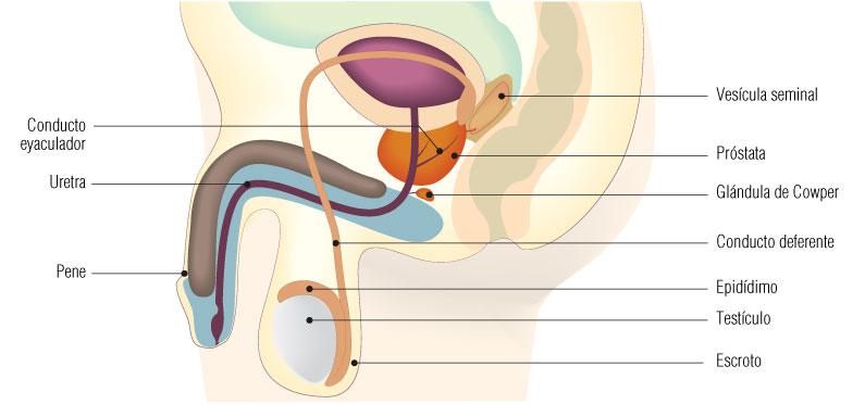 adenoma de próstata del lóbulo medio para